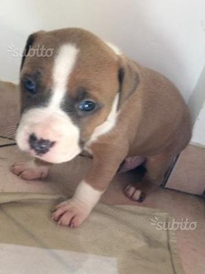 Cuccioli Amstaff con pedigree ENCI