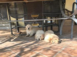 Cuccioli di golden retriever con pedegree
