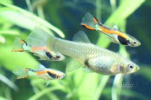 Endler piccoli pesci acqua dolce posot class for Neon pesci prezzo