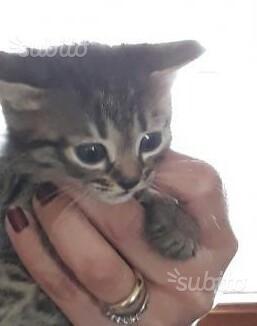 Gattini mix maine coon