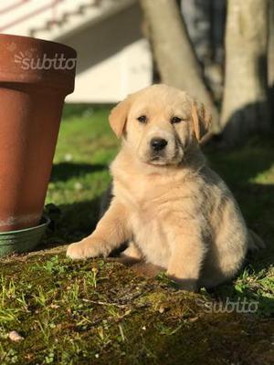 Labrador 3 mesi