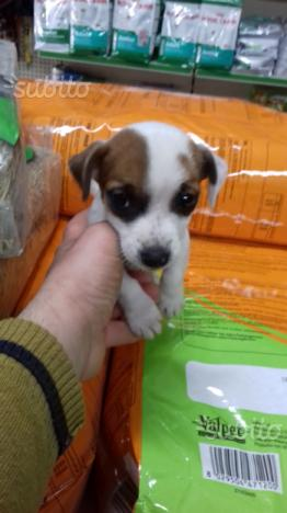 Piccina tricolore Jack Russell