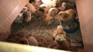 Pulcini gallina pesante