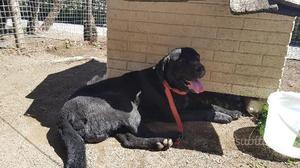 Si regala cane labrador Retriever nero maschio