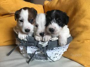 Splendidi cuccioli di jack russel