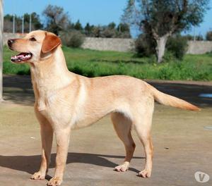 Birba cucciola simil labrador