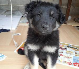 Leo cucciolo incrocio di pastore CERCA CASA