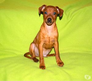 Pinscher, cucciolo maschio