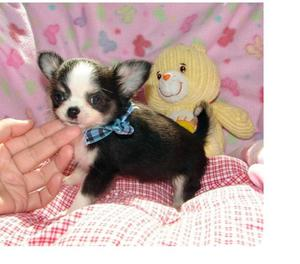 Cuccioli di Chihuahuas taglia piccola per regalo