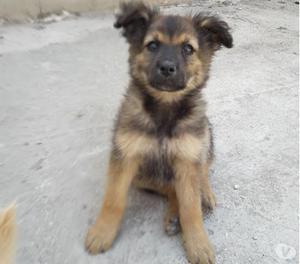 CORA cucciolo incrocio di pastore CERCA CASA