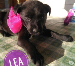 Lea simil labrador nera 3 mesi adozione