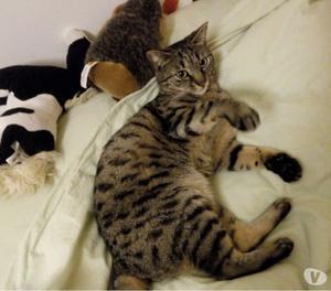 Smarrita gattina tigrata di nome Magò