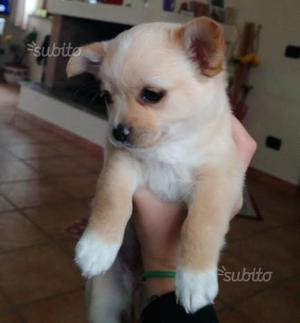 Chihuahua Pura - Ultima cucciola disponibile
