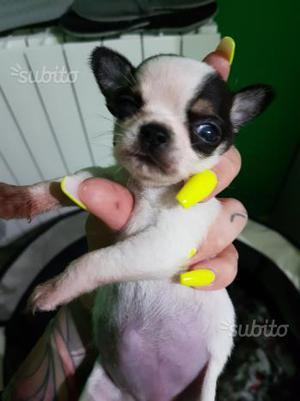 Chihuahua femmina con pedegree ENCI 700