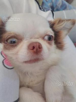 Chihuahua femmina pedigree
