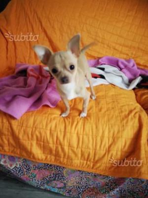Chihuahua maschio per monte