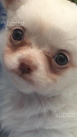 Chihuahua pelo lungo con Pedigree Enci