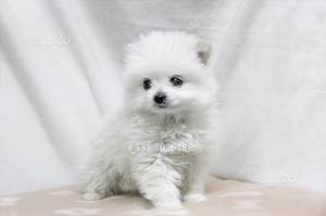 Cucciola di Volpino di Pomerania Toy
