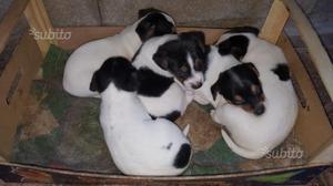 Cuccioli di Jack Russel