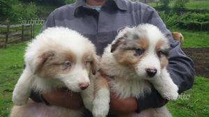 Cuccioli pastore australiano