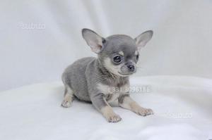 Cucciolo di Chihuahua Toy Blu focato