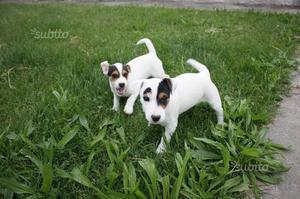 Jack russell pedigree roi ultimi cuccioli