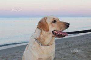 Labrador in regalo