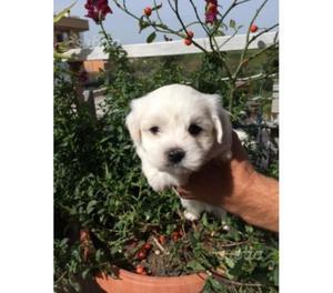 Maltese toy cuccioli