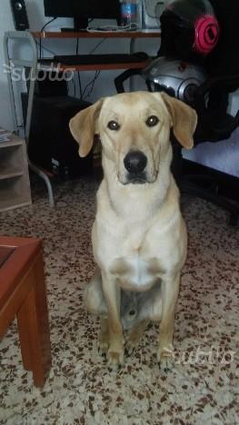 Regalo cane incrocio spinone-labrador
