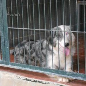 Sissi border collie salviamola dalla perrera