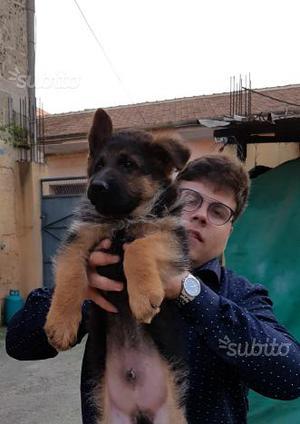 Superr cucciolo con pedigree e vaccinazzione