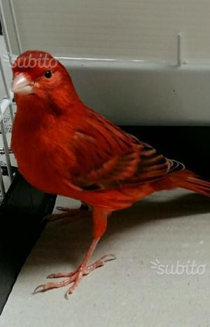 Canarini Agata rossi