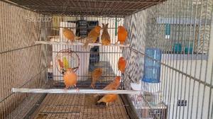 Canarini rosso isabella brinato ed intenso