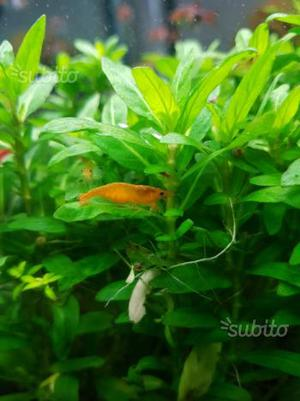 Caridine orange