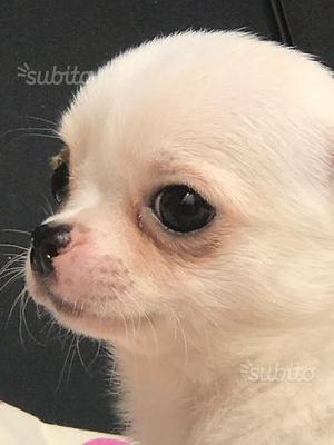 Chihuahua maschio con pedegree