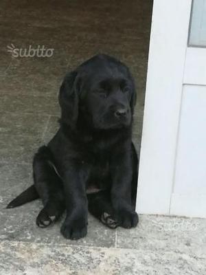 Cuccioli di 2 mesi neri adorabili