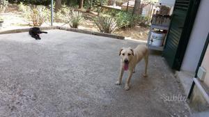 Cuccioli di Cane Corso e Labrador
