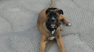 Cucciolo 5 mesi BAN DOG (VACCINATO)