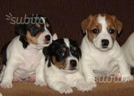 Cucciolo di Jack russel con pedigree