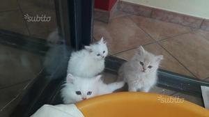 Gatti persiani maschi