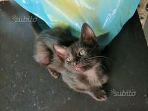 Gattina nera derivata siamese