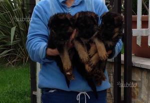Pastore Tedesco con pedigree