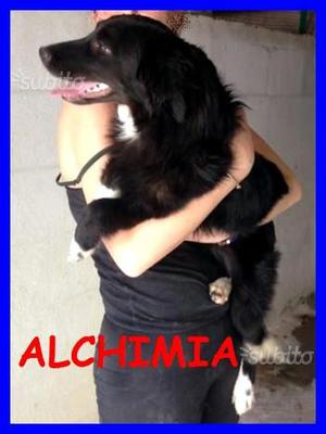 Alchimia, cucciolona neanche 1 anno simil border