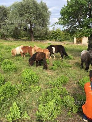 Ampia disponibilità di Mini Horse e Pony