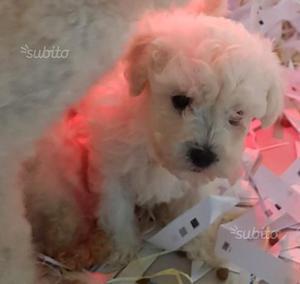 Barboncino AVORIO cuccioli di 2 mesi