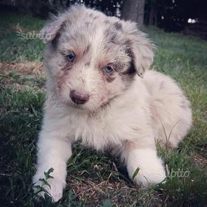 Border collie cucciolo