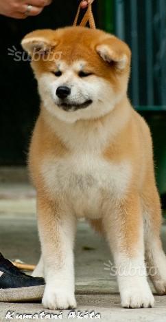 Cucciola di Akita inu con pedigree