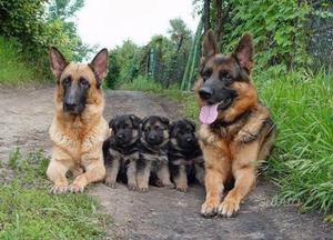 Cuccioli Pastore Tedesco pronta consegna
