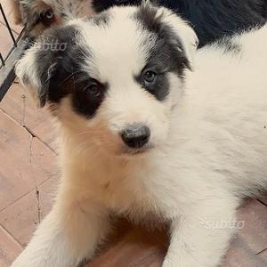 Cucciolo border collie