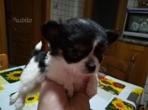 Cucciolo di chihuahua